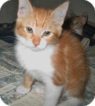 Domestic Shorthair Kitten for adoption in Shelton, Washington - Linda