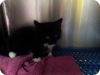 Domestic Shorthair Kitten for adoption in Marietta, Georgia - Lelo