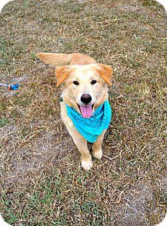 Golden Retriever Mix Dog for adoption in Corpus Christi, Texas - Huck