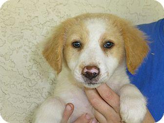 Sheltie, Shetland Sheepdog/Golden Retriever Mix Puppy for adoption in Oviedo, Florida - Louie
