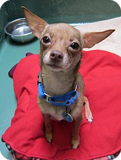 Chihuahua Mix Dog for adoption in Seattle, Washington - Sunny