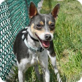 Rat Terrier Mix Dog for adoption in Cheyenne, Wyoming - Tuxedo