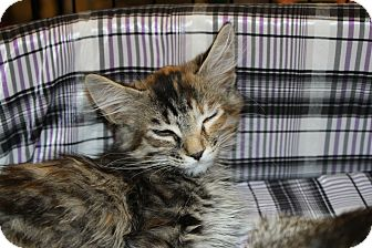 Domestic Longhair Kitten for adoption in Marietta, Georgia - Marie