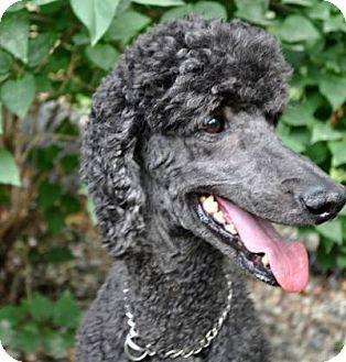 Poodle (Standard) Dog for adoption in Elk River, Minnesota - ROSCOE