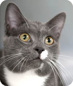 Domestic Shorthair Kitten for adoption in Chicago, Illinois - Tigg