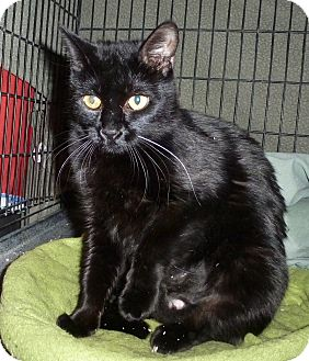 Domestic Shorthair Cat for adoption in Pueblo West, Colorado - Pia