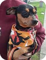 Miniature Pinscher Dog for adoption in Columbus, Ohio - Rae