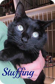 Domestic Shorthair Cat for adoption in Menomonie, Wisconsin - Stuffing