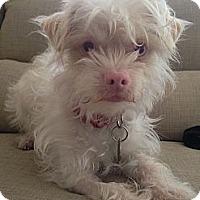 Adopt A Pet :: Falcor - Santa Monica, CA
