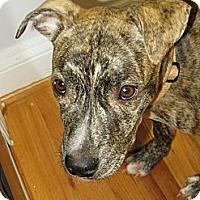 Adopt A Pet :: Wyatt - Reisterstown, MD