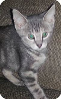 Domestic Shorthair Kitten for adoption in McHenry, Illinois - Blue