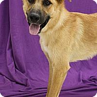 Adopt A Pet :: BossHoss - Broomfield, CO
