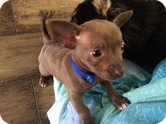 Chihuahua Mix Puppy for adoption in Saskatoon, Saskatchewan - Nat