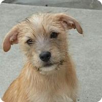 Adopt A Pet :: Sailor - Chicago, IL