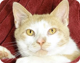Domestic Shorthair Cat for adoption in Renfrew, Pennsylvania - Theo