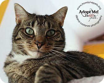 Domestic Shorthair Cat for adoption in Lyons, New York - J.R.