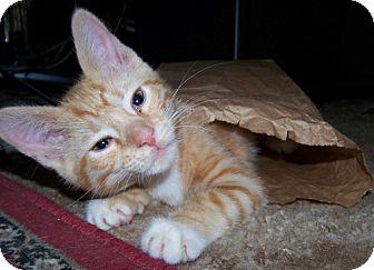 Domestic Mediumhair Kitten for adoption in Parkville, Missouri - Lucita