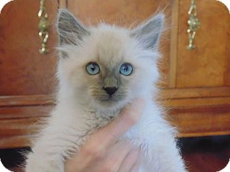 Himalayan Kitten for adoption in Huntsville, Alabama - Romeo