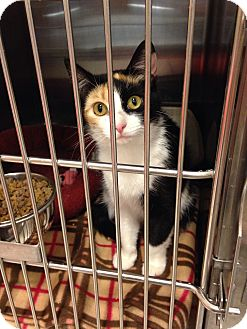 Calico Cat for adoption in Muncie, Indiana - Roxi