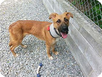 German Shepherd Dog Mix Puppy for adoption in Irwin, Pennsylvania - Franco