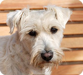 Scottie, Scottish Terrier/Schnauzer (Standard) Mix Dog for adoption in Portola, California - Jasper