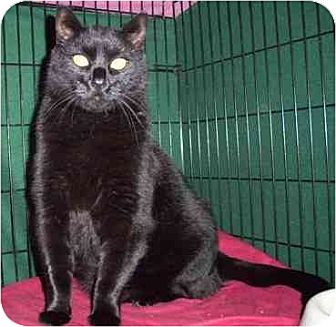 Domestic Shorthair Cat for adoption in Balto, Maryland - Big Papa
