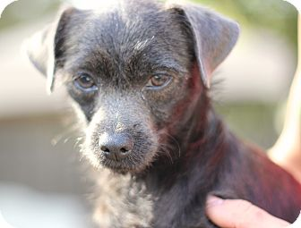 Terrier (Unknown Type, Small)/Chihuahua Mix Dog for adoption in Wheaton, Illinois - JACK