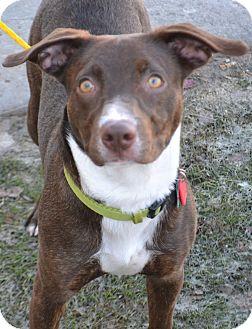 Australian Shepherd/Pit Bull Terrier Mix Dog for adoption in Fruit Heights, Utah - Eli