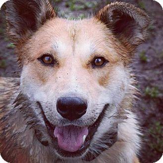 Husky/Shepherd (Unknown Type) Mix Dog for adoption in Edmonton, Alberta - Cory Flower