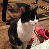 Domestic Mediumhair Cat for adoption in Apex, North Carolina - Dax