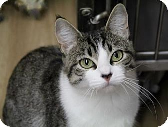 Domestic Shorthair Cat for adoption in Port Hope, Ontario - Mrs. B