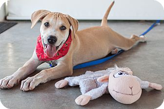 Labrador Retriever Mix Puppy for adoption in Nanaimo, British Columbia - Maggie