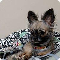 Adopt A Pet :: Fifi - Wyoming, MI
