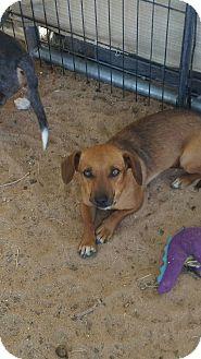 Dachshund Mix Dog for adoption in Riverside, California - ANNA