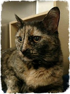 Domestic Shorthair Cat for adoption in Pueblo West, Colorado - Mary
