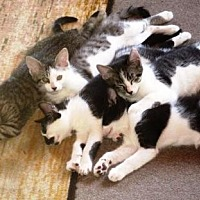 Adopt A Pet :: KITTENS - A PACK OF FURRIES - DeLand, FL