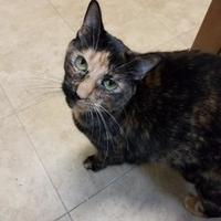 Domestic Shorthair/Domestic Shorthair Mix Cat for adoption in Brooksville, Florida - Ginger