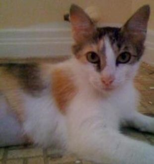 Domestic Shorthair/Domestic Shorthair Mix Cat for adoption in Garland, Texas - Mary