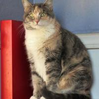 Domestic Shorthair/Domestic Shorthair Mix Cat for adoption in Wichita Falls, Texas - Marbles