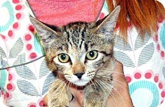 Domestic Shorthair Kitten for adoption in Wildomar, California - Miral
