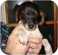 Rat Terrier Mix Puppy for adoption in Lonedell, Missouri - Brusque
