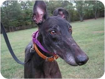 Greyhound Dog for adoption in Chagrin Falls, Ohio - Ranger (TK Lone Ranger)