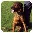 Photo 2 - Mastiff/Rottweiler Mix Dog for adoption in Ticonderoga, New York - Bristol