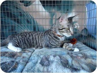 Domestic Shorthair Cat for adoption in Turlock, California - 0823-1125