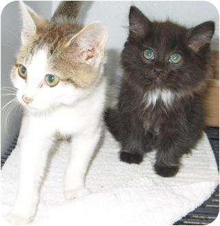 Domestic Shorthair Kitten for adoption in Mt. Vernon, Illinois - Harold and Conway