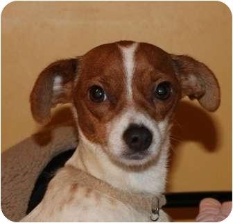 Rat Terrier Mix Dog for adoption in Salem, New Hampshire - Bebe