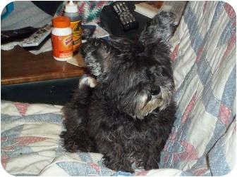 Yorkie, Yorkshire Terrier Mix Dog for adoption in Salt Lake City, Utah - Pixie