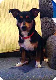 Dachshund Mix Dog for adoption in Kalamazoo, Michigan - Peeper