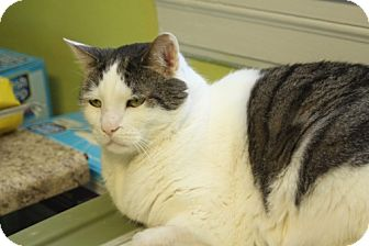 Domestic Shorthair Cat for adoption in Winston-Salem, North Carolina - Merlot