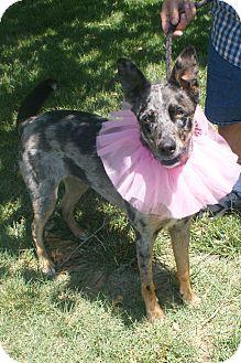 German Shepherd Dog/Australian Shepherd Mix Dog for adoption in Hutchinson, Kansas - Koda